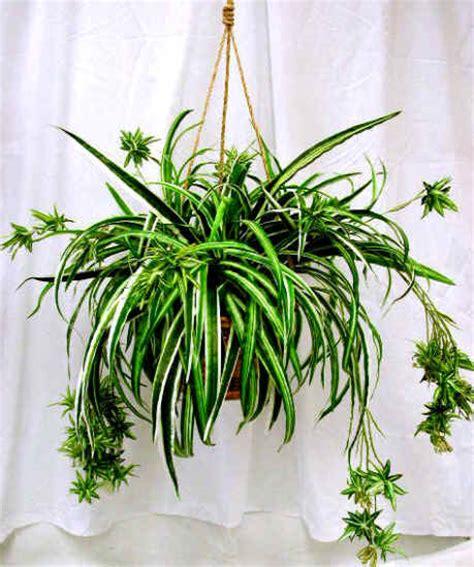 spider plant tyler greener living spider plants chlorophytum hard to kill plants