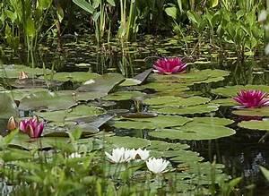 Plante Pour Bassin Extérieur : 12 plantes de bassin ~ Premium-room.com Idées de Décoration