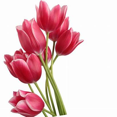 Tulip Transparent Clip Tulips Clipart Library Background