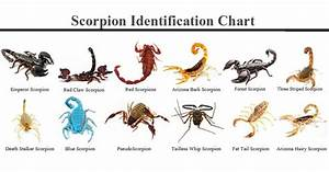 Different Types Of Scorpions Species