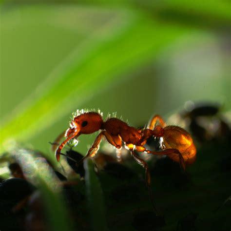 ameisen an pflanzen ameise
