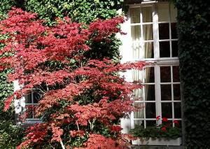 Ein Japanischer Ahorn Acer Palmatum Im Stadtgarten Vor