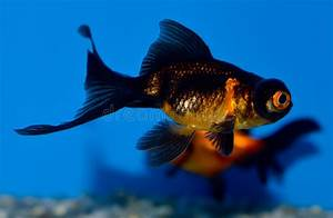Small Black And Orange Telescope Eye Goldfish Stock Photo ...
