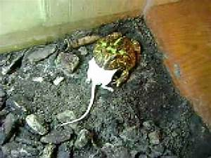Images Of Pacman Frog Eating Mouse Golfclub