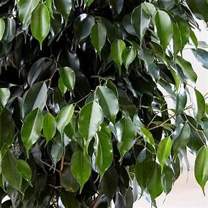 Ficus Benjamini Vermehren : buy weeping fig ficus benjamina 39 danielle 39 delivery by ~ Lizthompson.info Haus und Dekorationen
