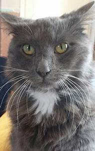 Long Haired Russian Blue For Sale Rugeley Staffordshire