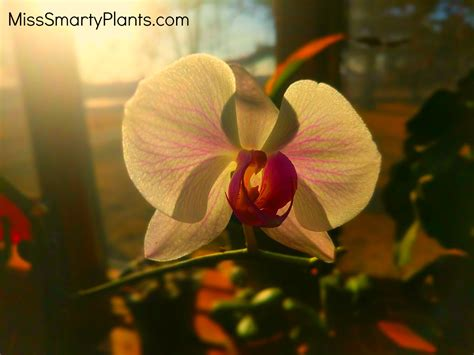 will my orchid bloom again will my orchid bloom again miss smarty plants