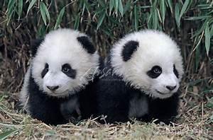 Twin giant panda cubs in a bamboo grove; Wolong Panda ...