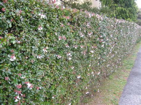 flowering hedges hedges shade plants the trees flowers of whangarei