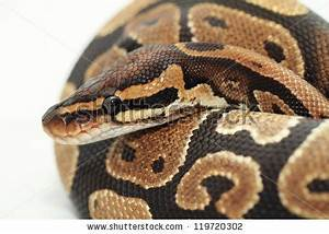 Ball Python Close Up (Python Regius) Stock Photo 119720302 ...