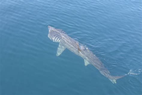 basking shark fishes world hd images free photos