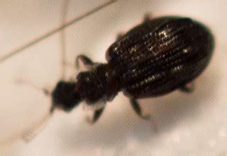 Small Beetles In Bathroom by Tiny Black Beetle In Bathroom Cartodere Nodifera