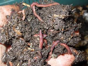 Composting Worms for Sale | Buy Compost Worms & Farm Online