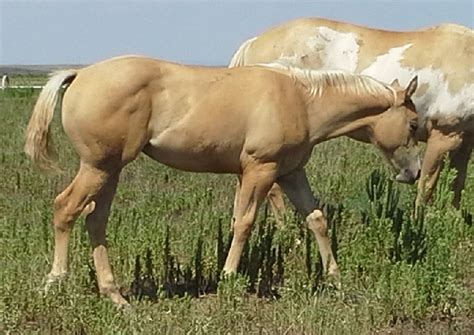 Palomino Western Pleasure Horse