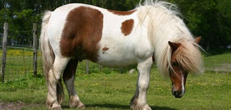 horse expensive most breeds pony shetland breed india