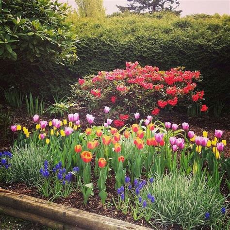 tulip gardening tulip garden gardening pinterest