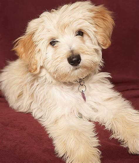 109 best small dog breeds images on pinterest animals