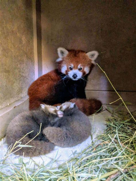 panda cubs zoo born twin parks boise