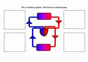 10 Best Images of Simple Diagram Of Circulatory System ...