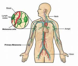 Neck Anatomy Glands - Human Anatomy Diagram