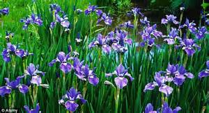 do irises need sun chelsea s star players bring a bit of chelsea flower show magic home with plants that wowed the