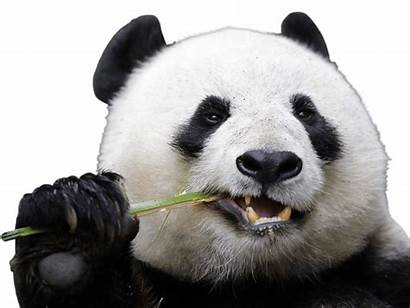 Panda Transparent Pandas Eating Animals Clipground Stickpng