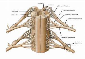 Spinal nerve roots; Dorsal Roots; Spinal Roots; Ventral Roots