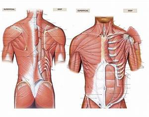 Muscles of the Pectoral Girdle - PurposeGames