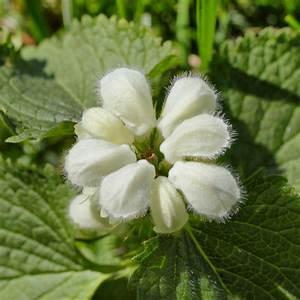 Blumen Lange Blütezeit : wei e taubnessel wann ist bl tezeit ~ Michelbontemps.com Haus und Dekorationen