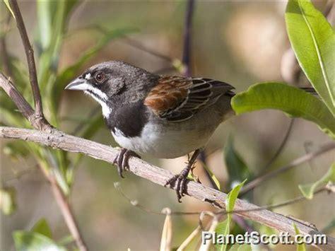 black chested sparrow peucaea humeralis planetscott com