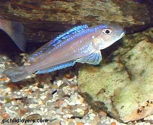 Xenotilapia bathyphilus neon blue Cichlid Lovers Picture