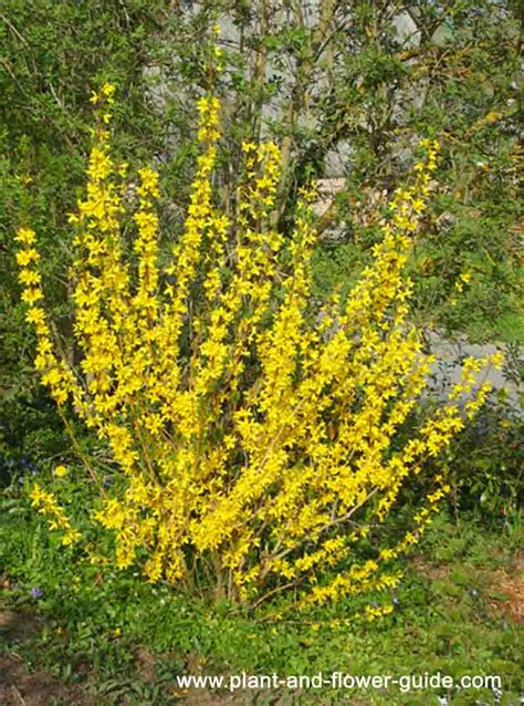 yellow blooming bushes forsythia bush bright yellow spring flowers seen this all over pnw this spring and now i want