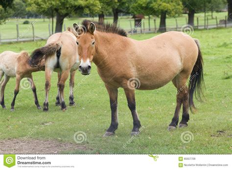 takhi horse wild asian przewalski called mongolian subspecies which horses extinct royalty cutout