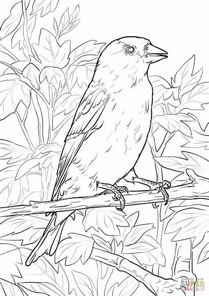 Goldfinch Coloring Eastern Drawings Template Printable American