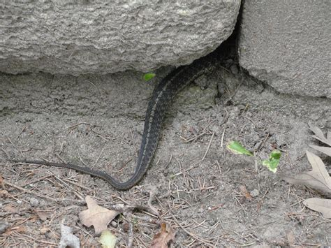 Garter Snakes  Mary Richmond's Cape Cod Art And Nature
