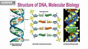 Structure Of Dna  Molecular Biology  B Sc   U0026 M Sc  Biotechnology