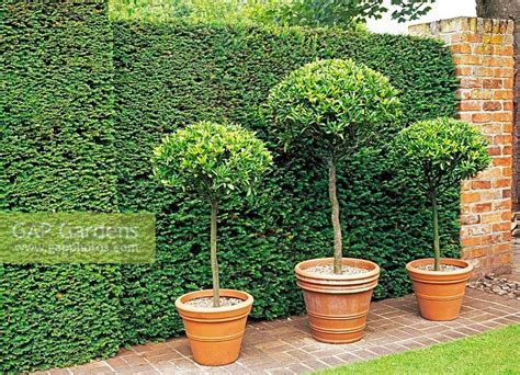 gap gardens trio of bay tree standards in terracotta