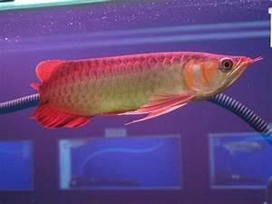 Arowana Fish Price List | www.imgkid.com - The Image Kid ...