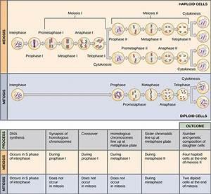 Diferencia Entre Mitosis Y Meiosis  Cuadros Comparativos E