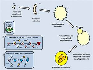 Formation Of The Autophagosome  And Subsequently  The