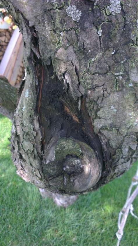 apfelbaum krankheiten stamm rinde platzt ab stamm wird schwarz am apfelbaum baumkunde forum