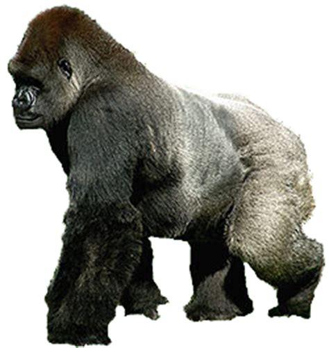 gorillas zoo kingdoms