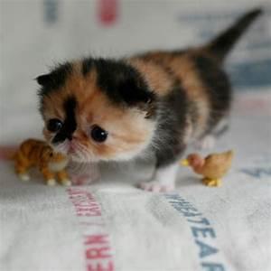 Cutest Scottish Fold Kitten | www.pixshark.com - Images ...