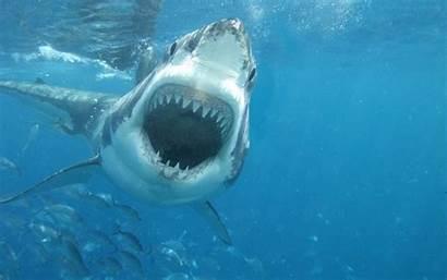Shark Jaws Attack Attacks Underwater Wallpapers Sea