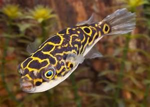 Ph Puffer Berechnen : 21 best puffer fish images on pinterest fish aquariums ~ Themetempest.com Abrechnung
