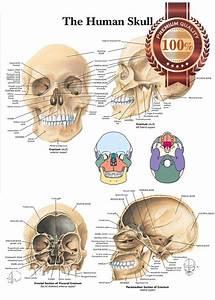 New The Human Skull Anatomy Anatomical Diagram Guide Chart Print Premium Poster