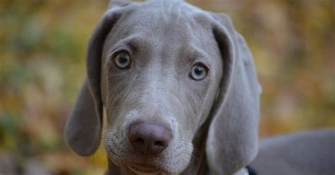 Nekļūdīties ar izvēli: suņu šķirnes nepieredzējušiem un ...