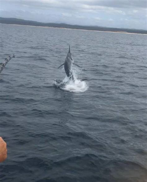 marlin boat potato point fishing close hooked charter caught released monday narooma playstation