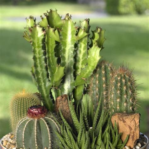 cactus  succulents diy