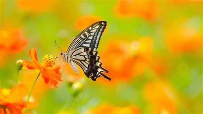 Butterfly Flower Orange Sits Wallpapers Insects Animals